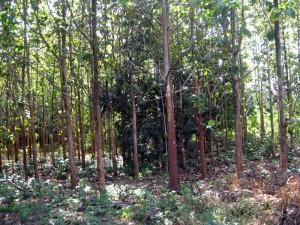 ป่าสัก 4 ที่ในซอยใกล้ Primo Posto จากถ.กุดคล้าฯ เข้าไป 400 เมตร ติดกับสนามกอล์ฟเขาใหญ่กอล์ฟคลับ เนื้อที่ 4 ไร่เศษ